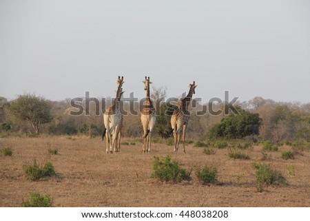 Three giraffes migrating. - stock photo