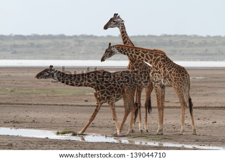 Three giraffes near water and one of them drinking - stock photo