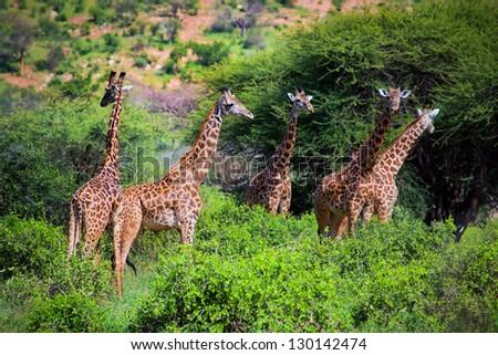Three giraffes on savanna. Safari in Tsavo West, Kenya, Africa - stock photo