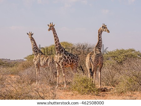 Three giraffes standing in the Southern African savanna