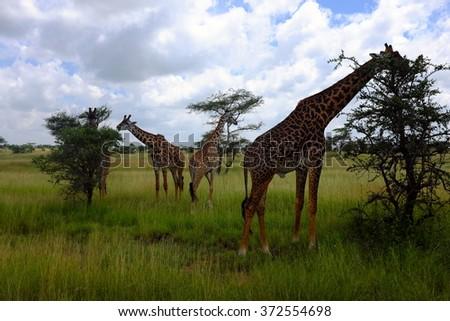 Three giraffes while safari in the Serengeti national park, Tanzania, Africa. Flat trees, road, bushes and green grass. - stock photo