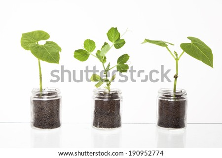 Three glass containers showing soil and roots with three young green sprouts against a white background.
