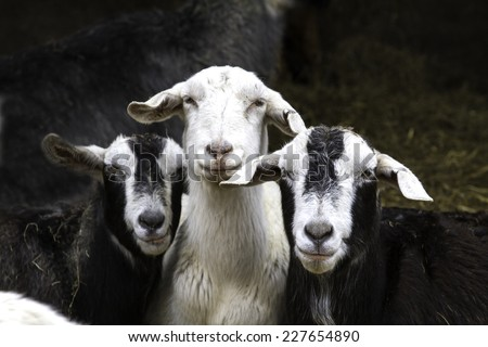 Three goats staring at the camera - stock photo