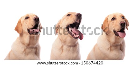 Three Golden Labradors isolated on white