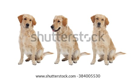 Three Golden Retriever dogs breed isolated on a white background - stock photo