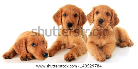 Three Golden Retriever puppies. - stock photo