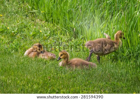 Three Goslings (Branta canadensis) in the Grass - one leaving to right - stock photo