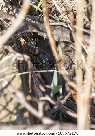 Three grass snakes or ringed snakes or Natrix natrix snakes lie on eachother in bushes - stock photo