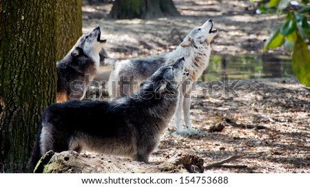 Three gray wolves howling in the forest. - stock photo