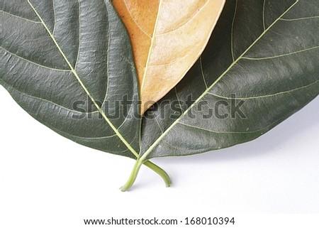 Three green leaf on white background.  - stock photo