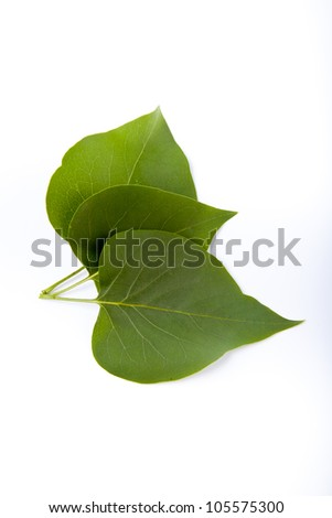 three green leaves on white background