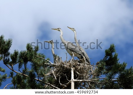Three Grey Heron (Ardea cinerea) juvenile birds in the nest - stock photo