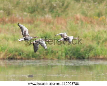 Three greylag geese flying low over open water, Old Moor RSPB Reserve, South Yorkshire, UK. The birds are centrally placed, flying left-to-right with water below and greenery behind. Room for copy. - stock photo
