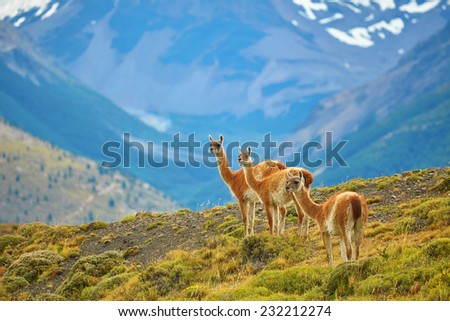 Three guanacoes in Torres del Paine national park, Patagonia, Chile  - stock photo