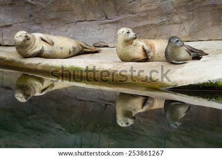 three harbor seals relaxing