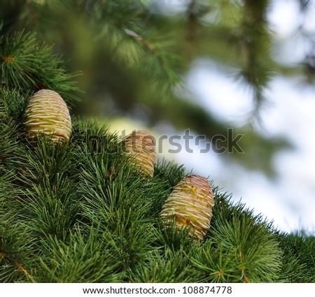 Three Himalayan cedar cones on a branch - stock photo