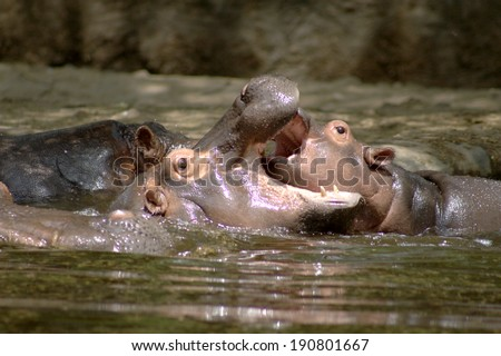 Three hippopotamuses are playing in a pool.