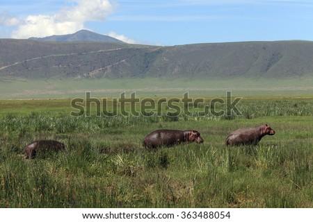 Three hippos in Ngorongoro crater - stock photo