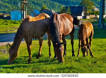 three horses graze