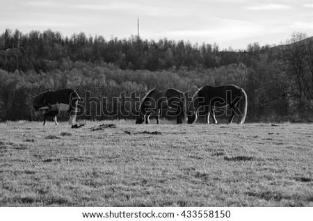 three horses in warming summer sunlight on vibrant green pasture monochrome - stock photo