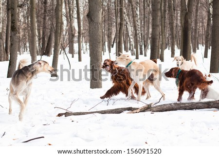 Three hounds, an two irish setters walking on snow  - stock photo