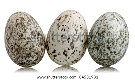 House Sparrow Eggs Color Three House Sparrow Eggs