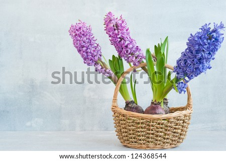 Three hyacinth in a basket on light wood background