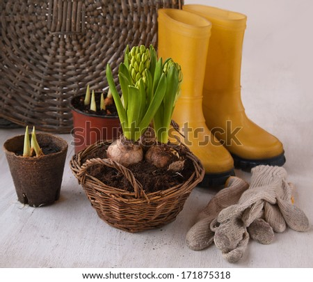 Three hyacinth in basket, garden gumboots and flower seedlings - stock photo