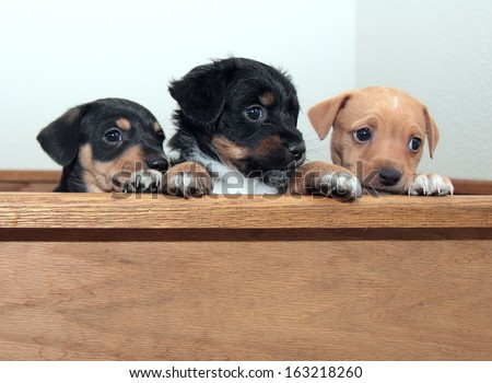 "Three Innocent Puppies peer over edge of wooden crate as if to say ""It wasn't me"" - stock photo"