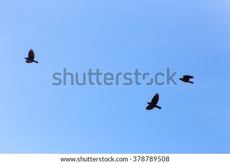 three jackdaws in flight against the sky - stock photo
