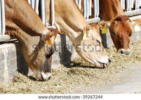 Three Jersey cows eating forage through stancions on large dairy farm. - stock photo