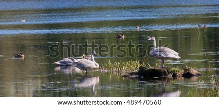 Three juwenile Mute Swans(Cygnus olor) against water