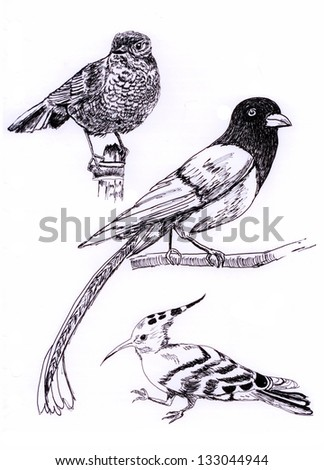 three kind of bird sketch painting illustration