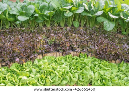 Three kinds of lettuce trees growing in three steps at a wall in organic garden - stock photo