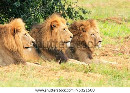 Three kings of the jungle - stock photo