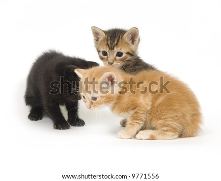 Three kittens playing on a white background