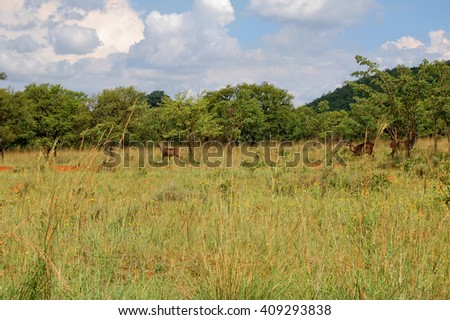 Three kudus on a meadow in high grass. The beautiful shy gazelles are hiding in an african bush - stock photo