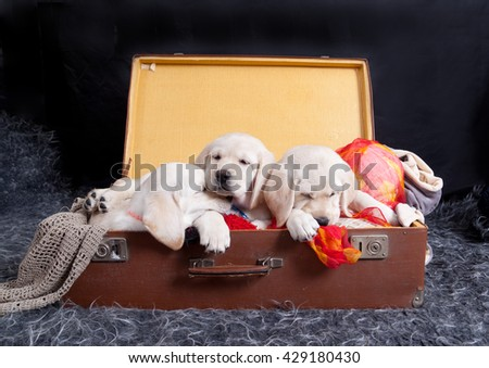 Three labrador puppies sleeping on vintage suitcase