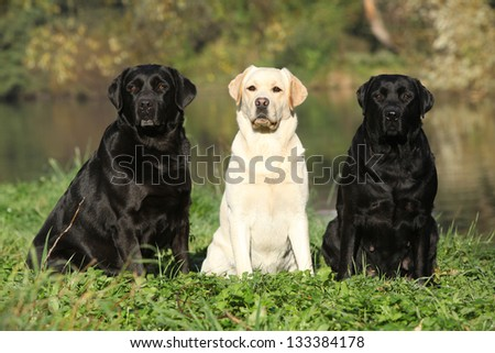 Three labrador retriever in front of the water - stock photo