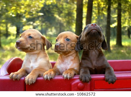 Three labrador retriever puppies stand in a red wagon.  One puppy is howling to escape. - stock photo