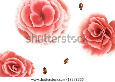 Three ladybugs (Hippodamia convergens) and Pink Begonia flower. - stock photo