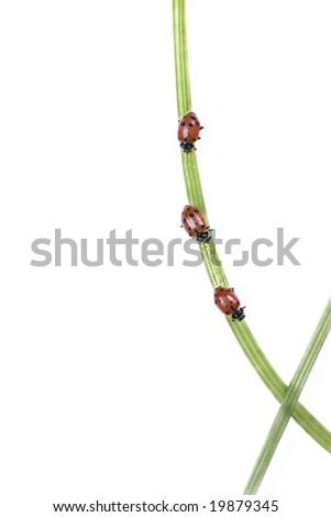 Three ladybugs (Hippodamia convergens) climb a plant stem. - stock photo