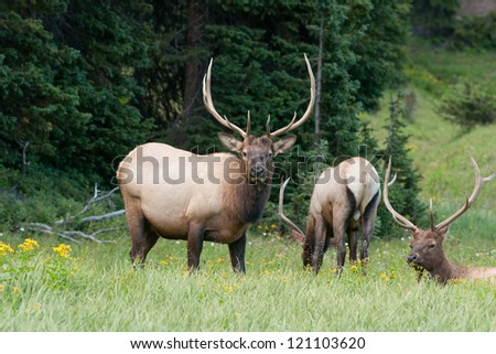 Three large bull elk together in a grassy meadow - stock photo