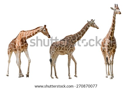 three large giraffes isolated on white background