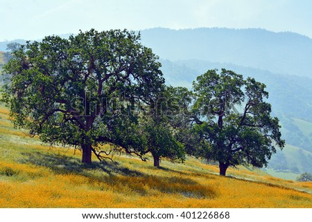 Three large oak trees on a hillside with yellow wildflowers in bloom. - stock photo