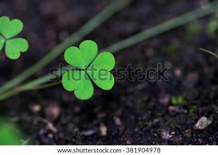 Three leaf Clovers - stock photo