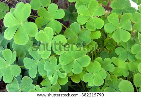 Three leaf clovers background - stock photo