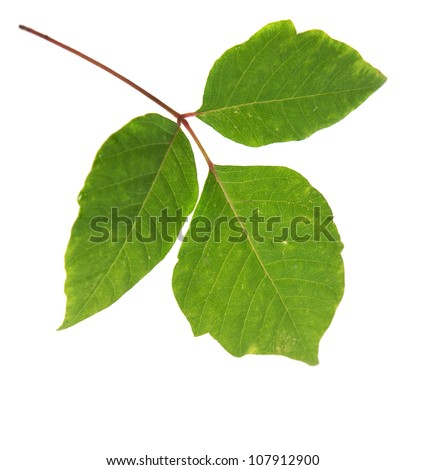 Three Leaves Poison Ivy Closeup Isolated on White Background - stock photo