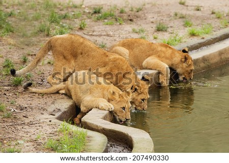 three lion cubs getting a drink all together. - stock photo