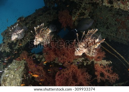 Three lionfish in a row in the Red Sea. Picture was taken at the wreck of the Thistlegorm.